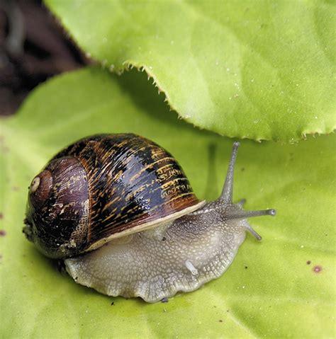 Brown Garden Snail by Brown Garden Snail Flickr Photo