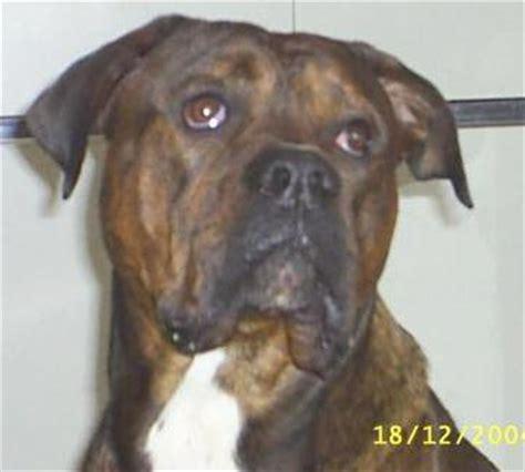 boxer x rottweiler puppies breeds bailey american bulldog x boxer x rottweiler breeds picture