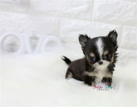 teacup puppies for sale in pa de 25 bedste id 233 er inden for teacup chihuahua puppies p 229 hundehvalpe