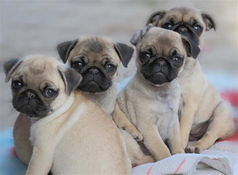 adorable pug puppies pug puppies totes adores