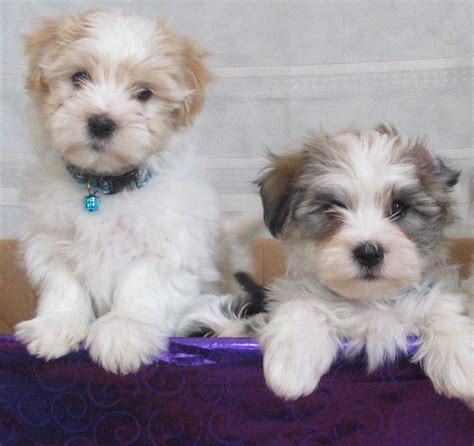 akc rules for giving a havanese a hair cut 1539 best cute animals images on pinterest fluffy pets