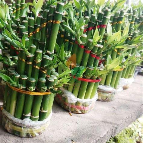 tanaman bambu hokibambu cina level  tingkat  bambu