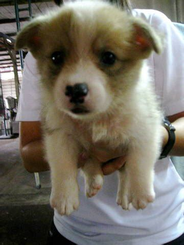 low price puppies corgi puppies for sale at low price for sale adoption in