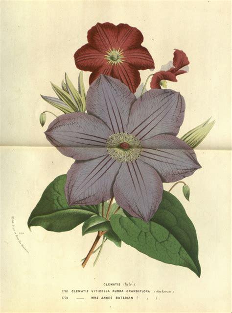 Clematis Viticella Rubra 4179 by Hortus Camdenensis Clematis Viticella L Var Rubra
