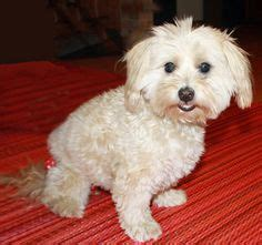 havanese rescue mn adoptable dogs mostly havanese on havanese dogs lhasa apso and adoption