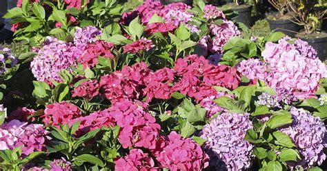 when to plant hydrangeas ehow uk
