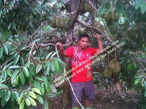 Bibit Durian Bawor Berbuah pohon durian bibit durian montong bibit durian unggul