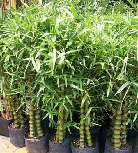 jenis pohon bambu hias  indonesia nuramijayacom