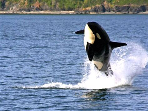 fast boat whale watching seattle orca sightings see more orcas than any other tour