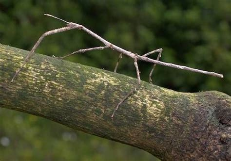 Lifestyle Network Home Design by Stick Insect 14 Amazing Camouflaged Animals Mnn