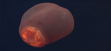 L Jellyfish by Mysterious Sea Creature Identified As Placental Jellyfish