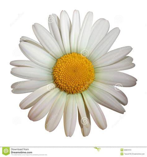 fiore della camomilla fiore della camomilla illustrazione vettoriale