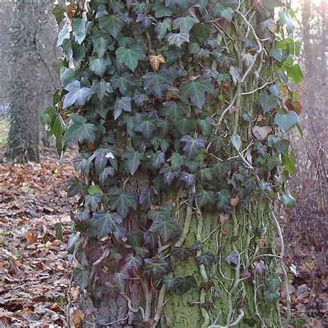 ist efeu winterhart efeu der klettermeister unter den pflanzen natur