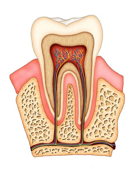 teeth of the the importance of pulp in the teeth family and cosmetic dentists serving riverton