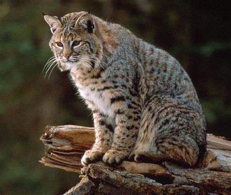 Are house cats related to the Bobcats?   Quora