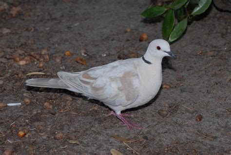 ringneck dove facts pet care behavior diet price