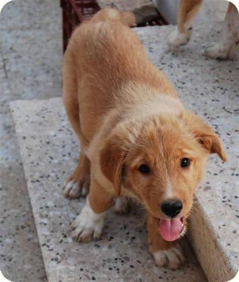golden retriever cuidados cuidados golden retriever cuidar de tu perro es facilisimo