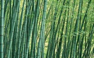 bamboo trees 1920x1200 wide image photography nature