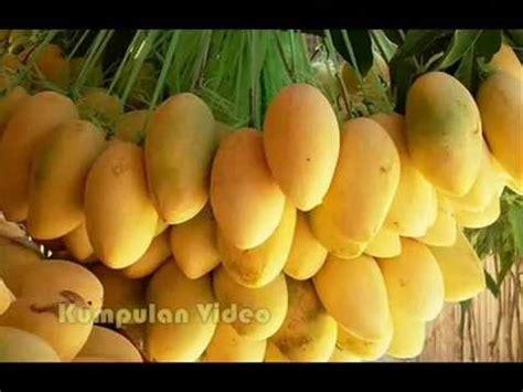 buah termahal di dunia seharga mobil buah paling manis