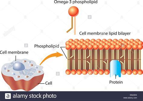 omega  phospholipid  skin cell membrane lipid layer