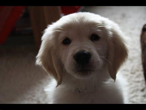 golden retriever puppy 8 weeks golden retriever welpen puppies doovi