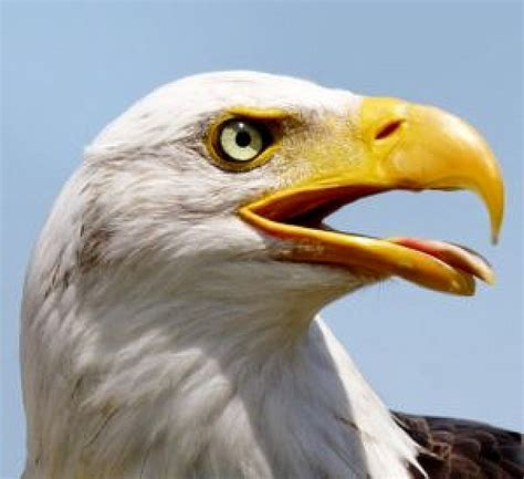 tired eagle photo free download