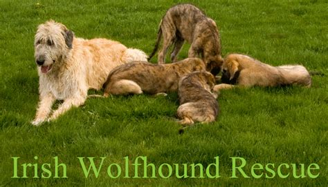 wolfhound puppies for adoption wolfhound rescue of michigan
