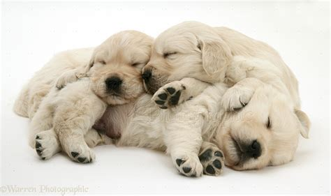 golden retriever puppies sleeping dogs three golden retriever pups sleeping photo wp13346
