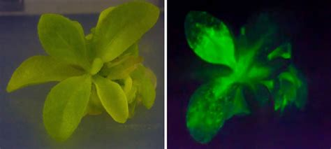 glow in the dark plants here s your chance to own a glow in the dark plant and