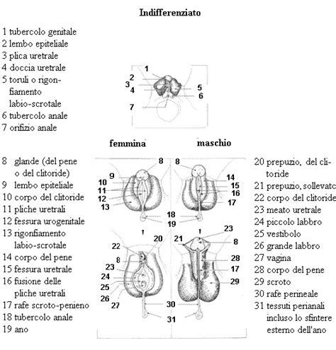apparato genitale femminile interno 3 il sesso prima di nascere embriologia educazione