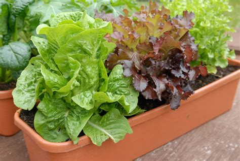 Lettuce Planter by How To Grow Lettuce In Pots Or Containers Plant