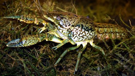 Where Were The Marble Crayfish Descoverd - crayfish create a new species of superclones