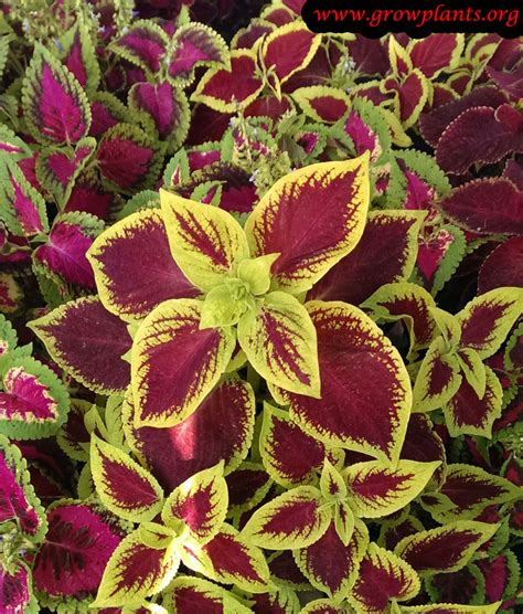 how well would a plant grow yellow light coleus growing grow plants