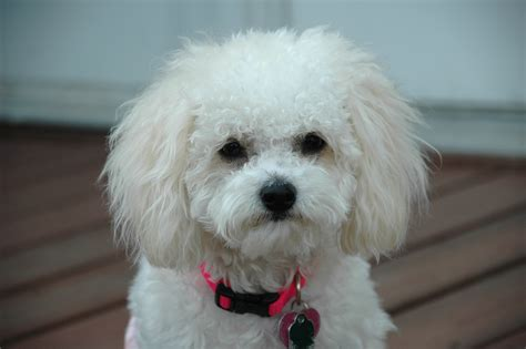 beautiful puppy dogs beautiful breed bichon frise on a leash wallpapers and images wallpapers
