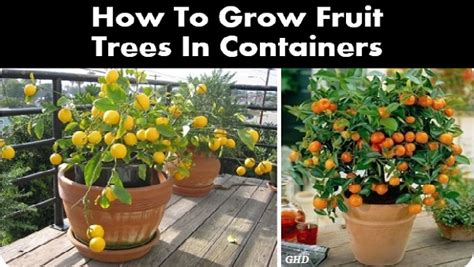 how to grow a fruit tree how to grow fruit trees in containers by ponkip