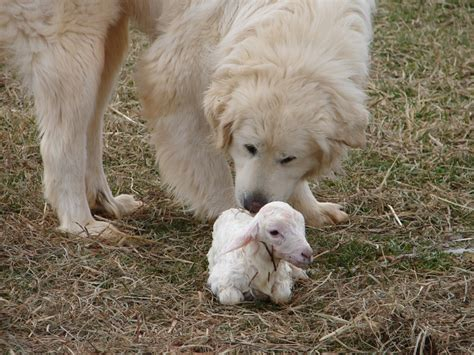 lambs farm puppies 126 best images about great pyrenees in honor on pyrenees puppies
