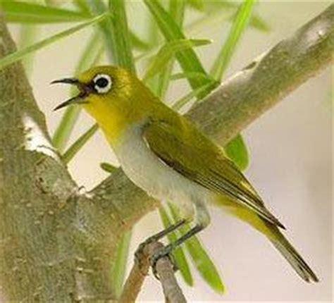 Harga Pakan Burung Pleci Nastar burungpleci burung pleci idola baru penggemar burung berkicau