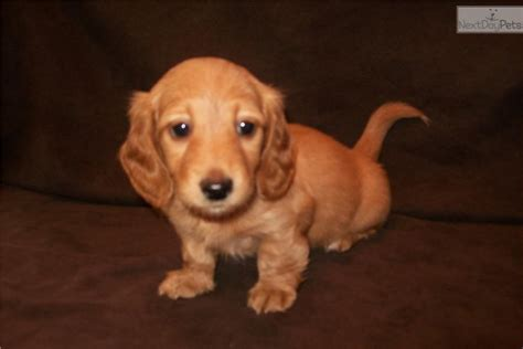 dachshund puppies for sale michigan dachshund for sale for 500 near grand rapids michigan 312286c1 8b21