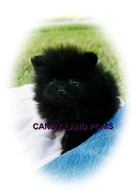 cheap pomeranian puppies for sale in houston teacup pomeranian puppies for sale teddy poms breeds picture