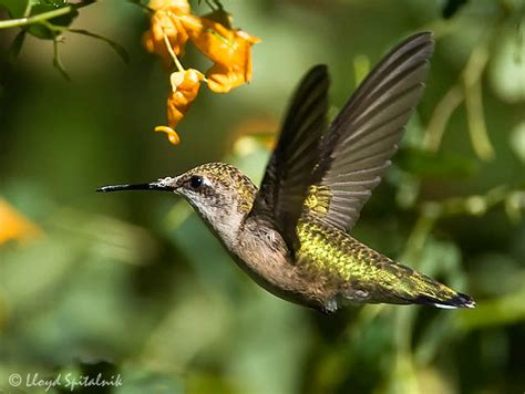 ruby throated hummingbird facts what do ruby throated