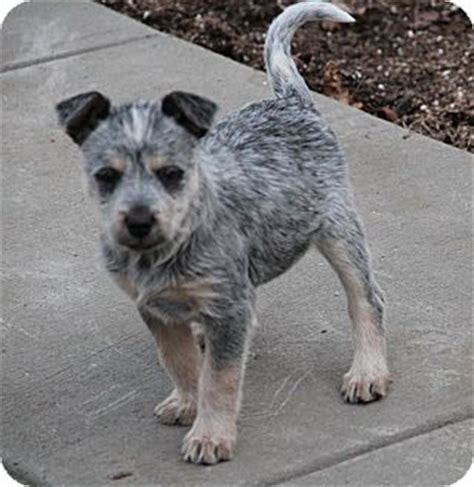 blue heeler yorkie mix adopted puppy yuba city ca blue heeler terrier unknown type small mix