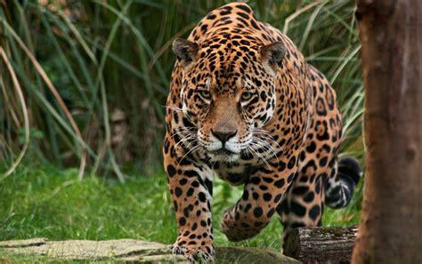 imagenes del multicitado jaguar as 237 se zambulle un jaguar en el r 237 o para atrapar a la