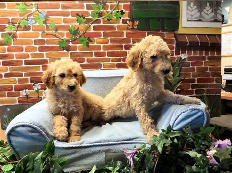 doodle puppy kopen 52 beste afbeeldingen australian labradoodle op