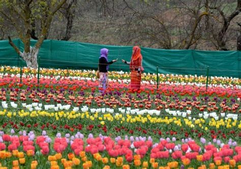 Tulip Flower Garden In India Photos Welcome To Asia S Largest Tulip Garden In Kashmir Rediff India News
