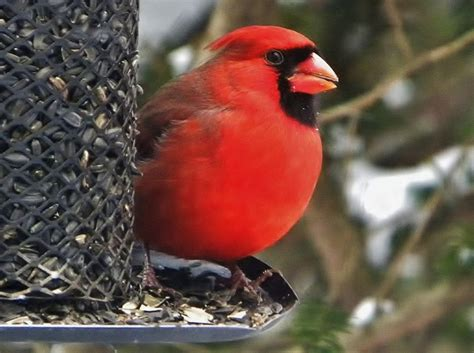 cardinal at bird feeder flower images pinterest