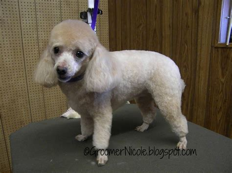 1000 images about doggy doos on pinterest poodles shih 1000 images about poodle on pinterest toy poodles