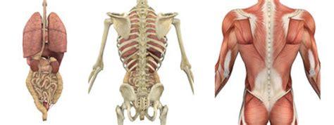 scheletro con organi interni organi interni corpo umano foto stock 215 organi