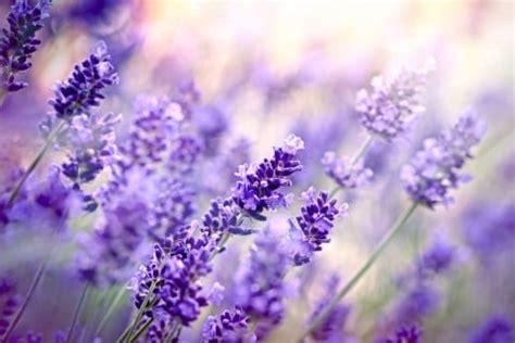 Bunga Lavender 81 ラベンダーの育て方 種まきや植え替え 鉢植え 寄せ植えの方法は horti ホルティ