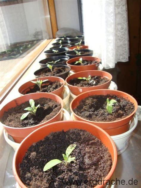 wann tomaten vorziehen tomaten pikieren tomaten pikieren und der