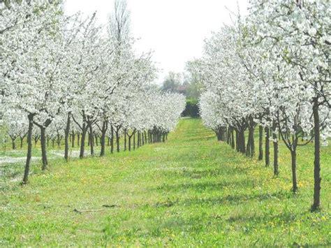 alberi in fiore a primavera alberi di amarene in fiore in primavera foto di acetaia